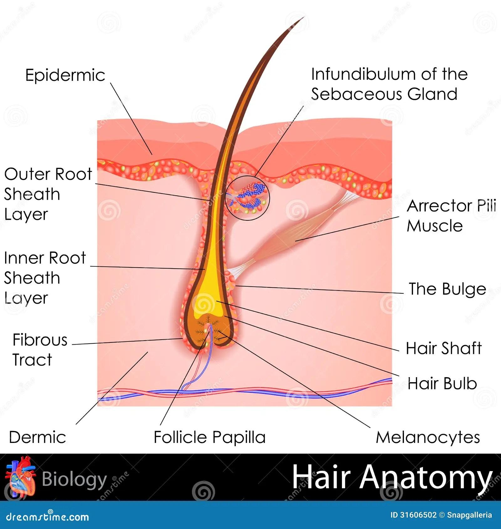 Anatomia Do Cabelo Ilustracao Do Vetor Ilustracao De