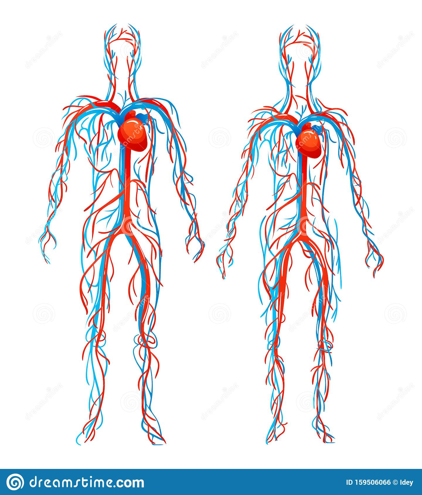 Anatomical Structure Human Bo S Blood Vessels With