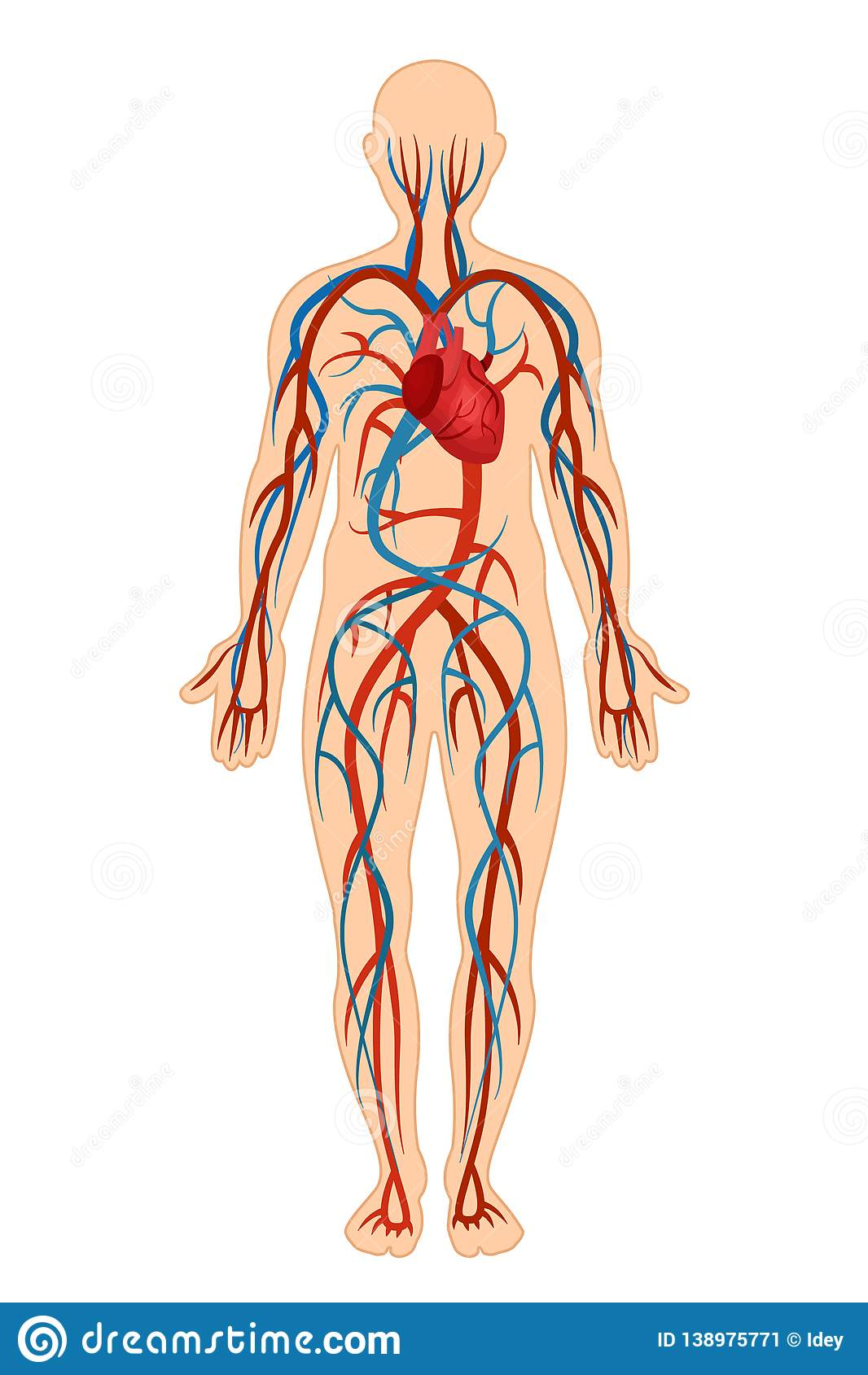 Anatomical Structure Of Human Body Circulatory System