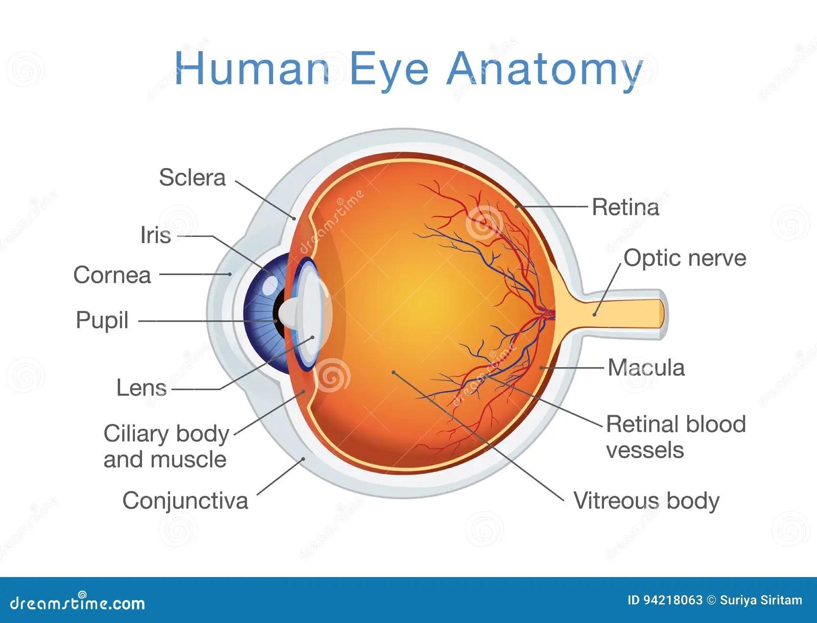 Anatomie Van Menselijk Oog En Beschrijvingen Vector