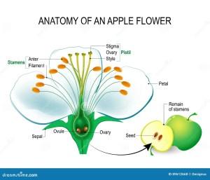 Anatomy of an apple flower stock vector Illustration of