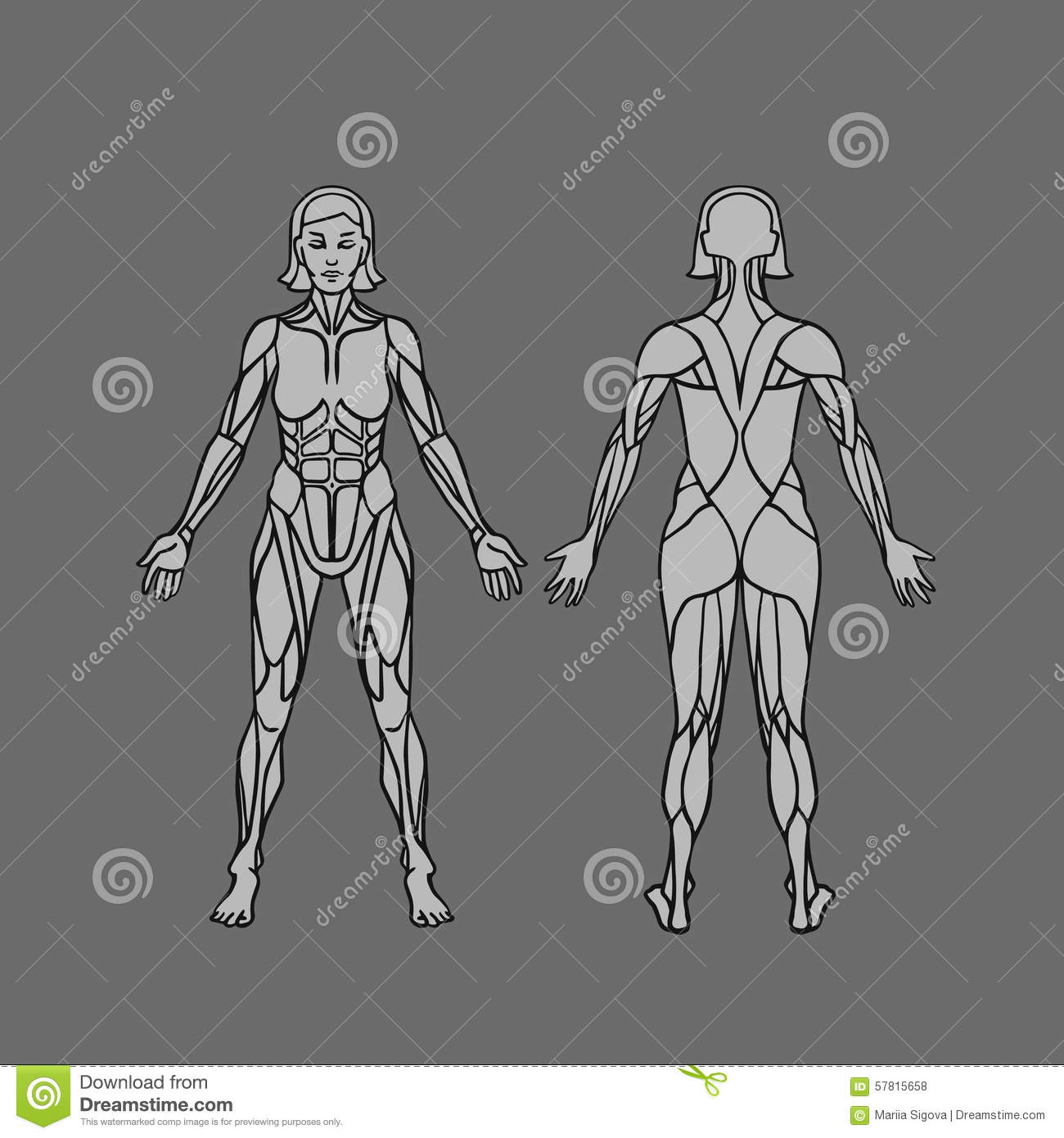 Anatomy Of Female Muscular System Exercise And Muscle