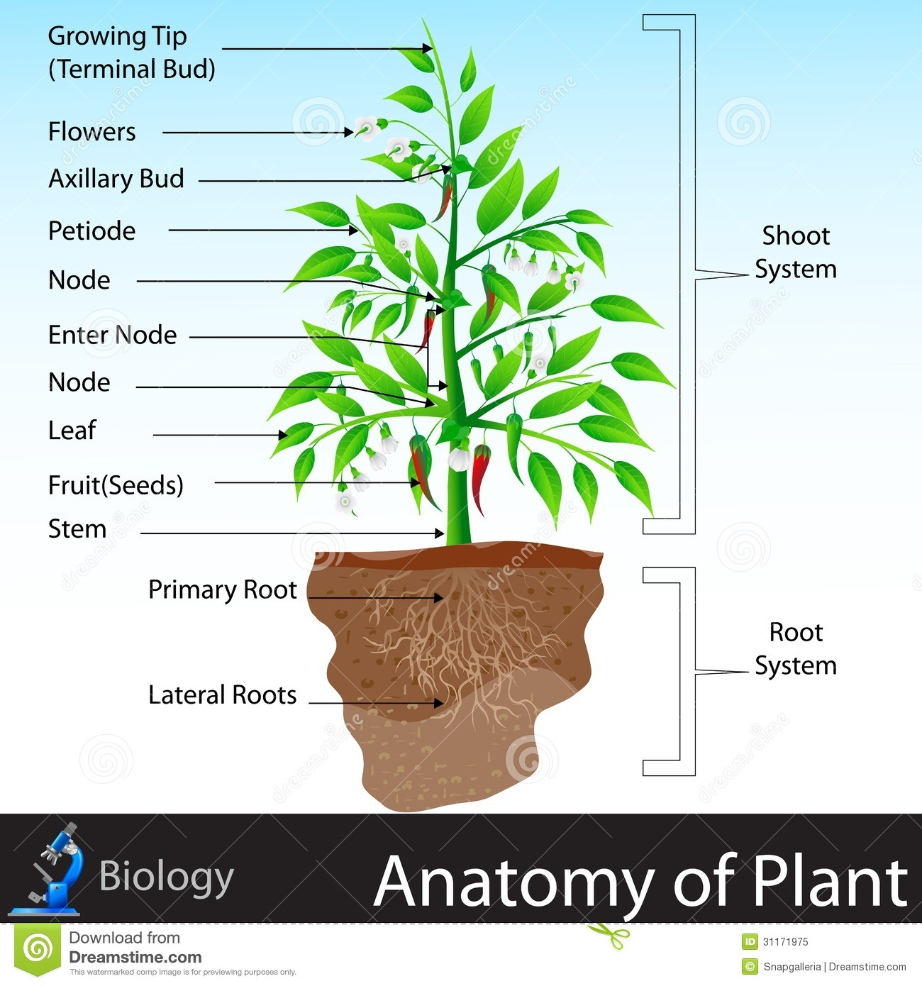 Anatomy Of Plant Stock Vector Illustration Of Leaf Cell
