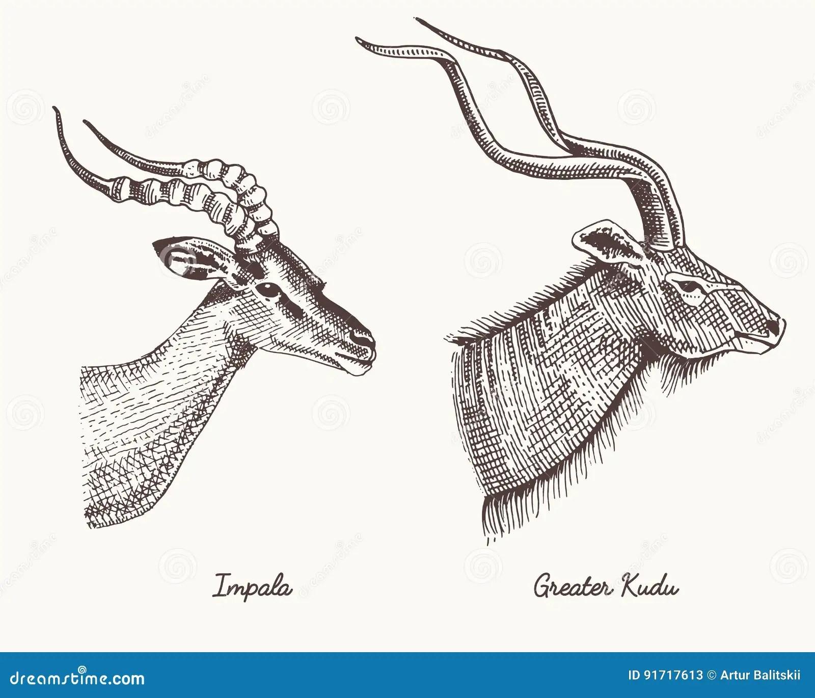 Antelopes Impala And Greater Kudu Vector Hand Drawn