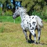 Appaloosa Horse Stock Image Image Of Equine Appalloosa 50407425