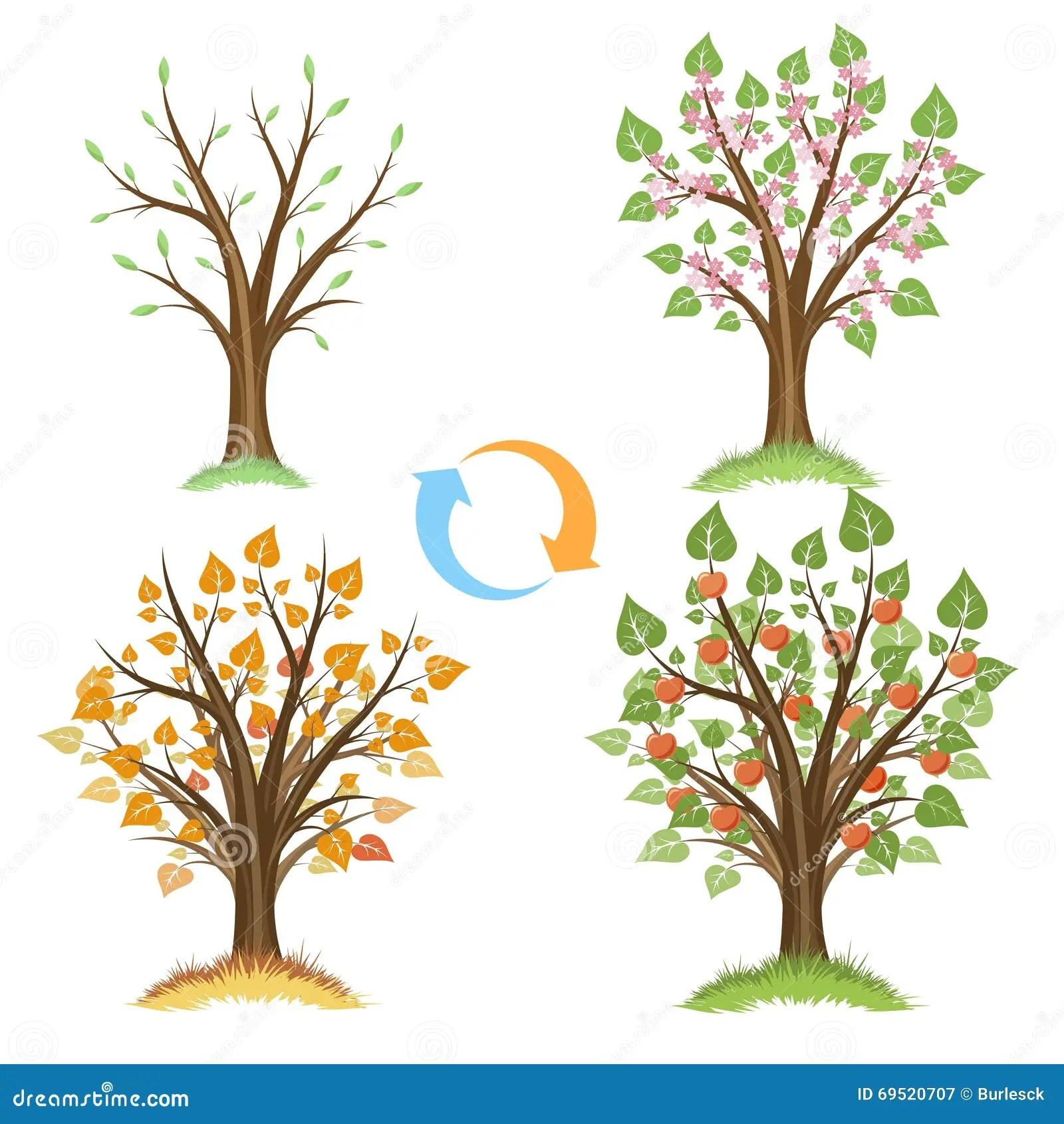 Apple Tree Seasonal Cycle Stock Vector Illustration Of