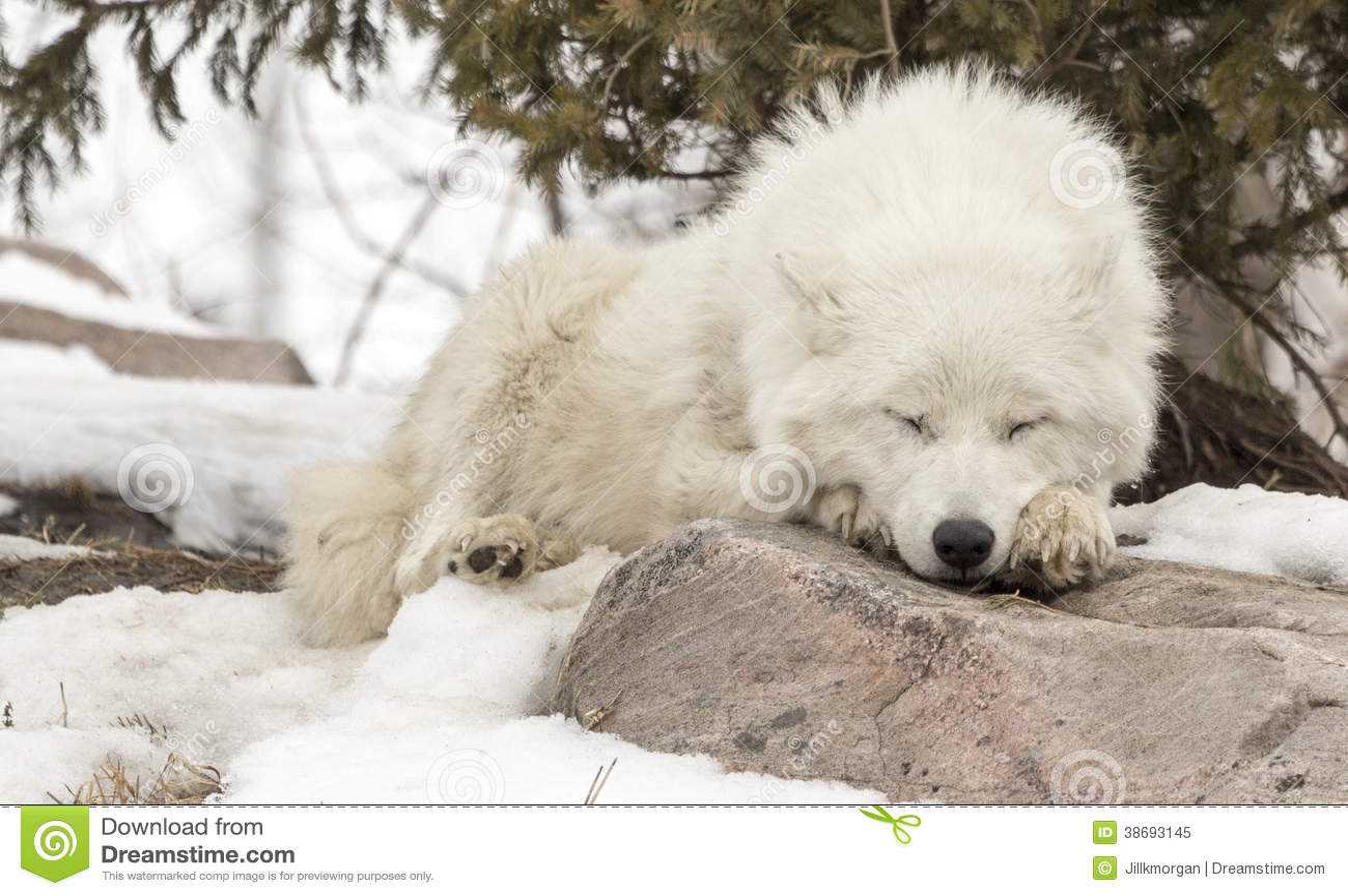 Arctic Wolf In Snow