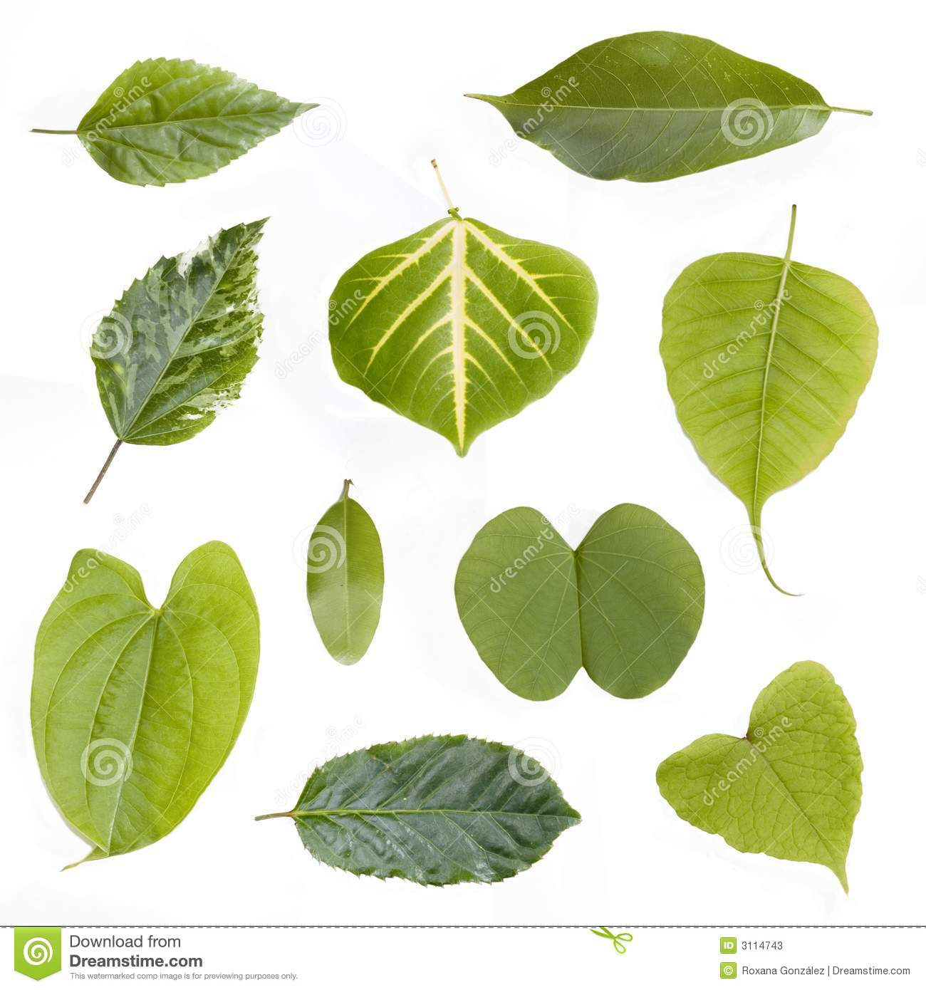 Assorted Green Leaves Isolated Stock Image