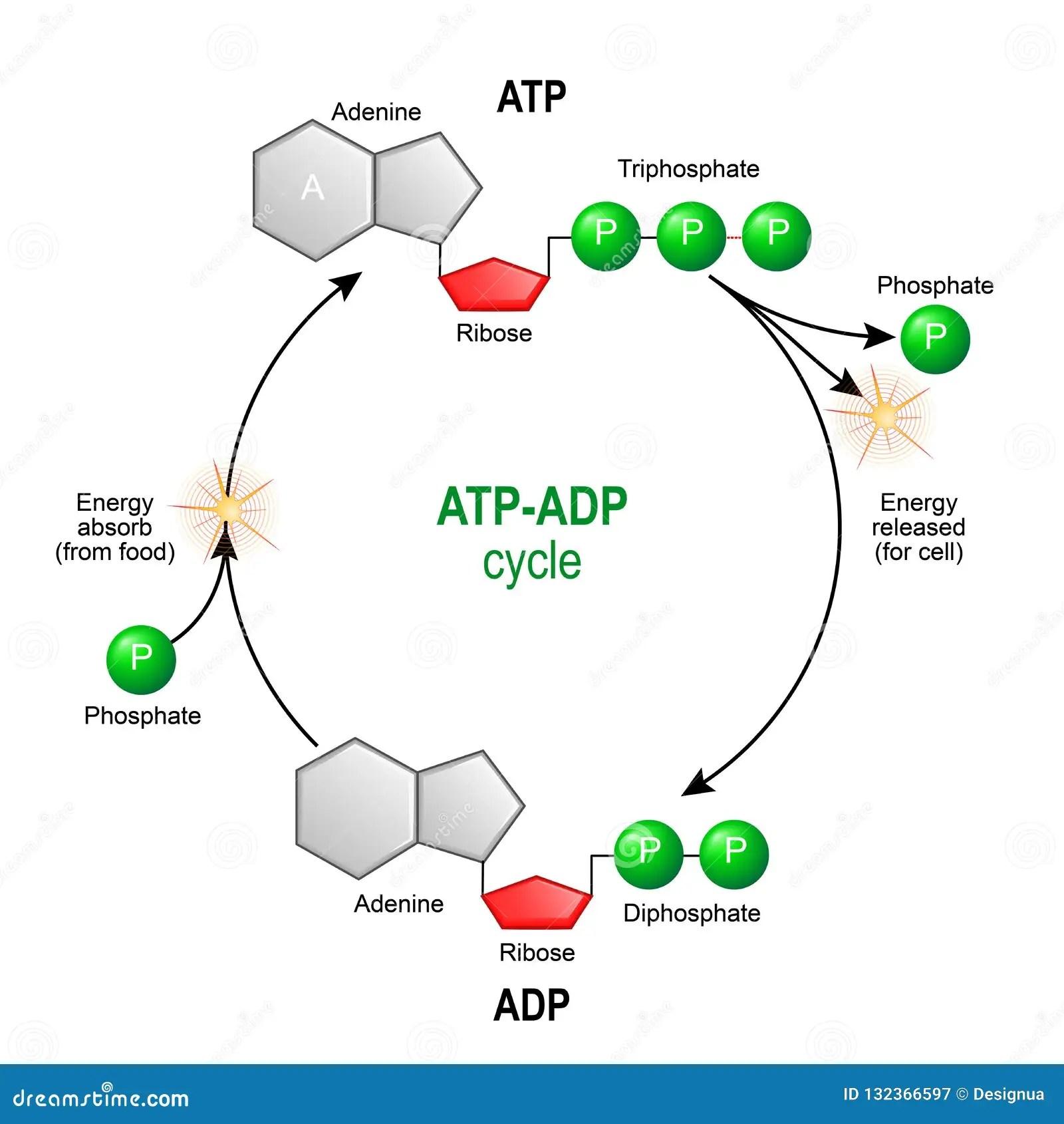 Atp Adp Cycle Adenosine Triphosphate Atp Is A Organic