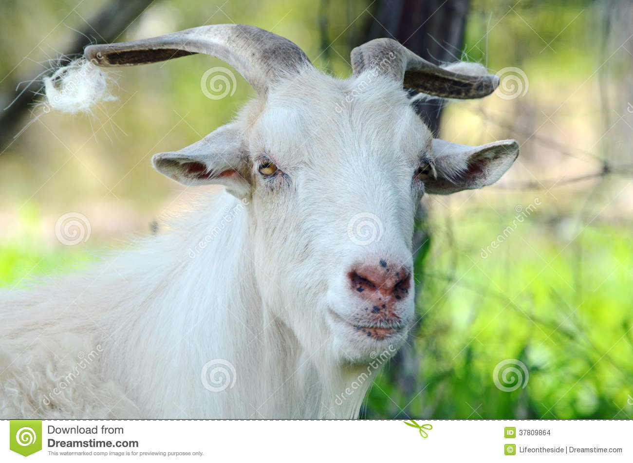 Australian Big Pure White Male Billy Goat Portrait Stock