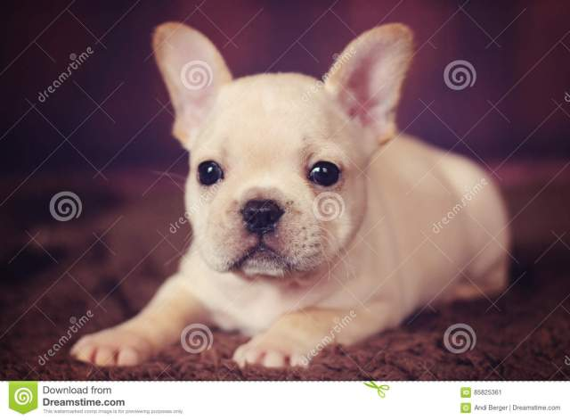 baby french bulldog puppy stock image. image of baby - 85825361