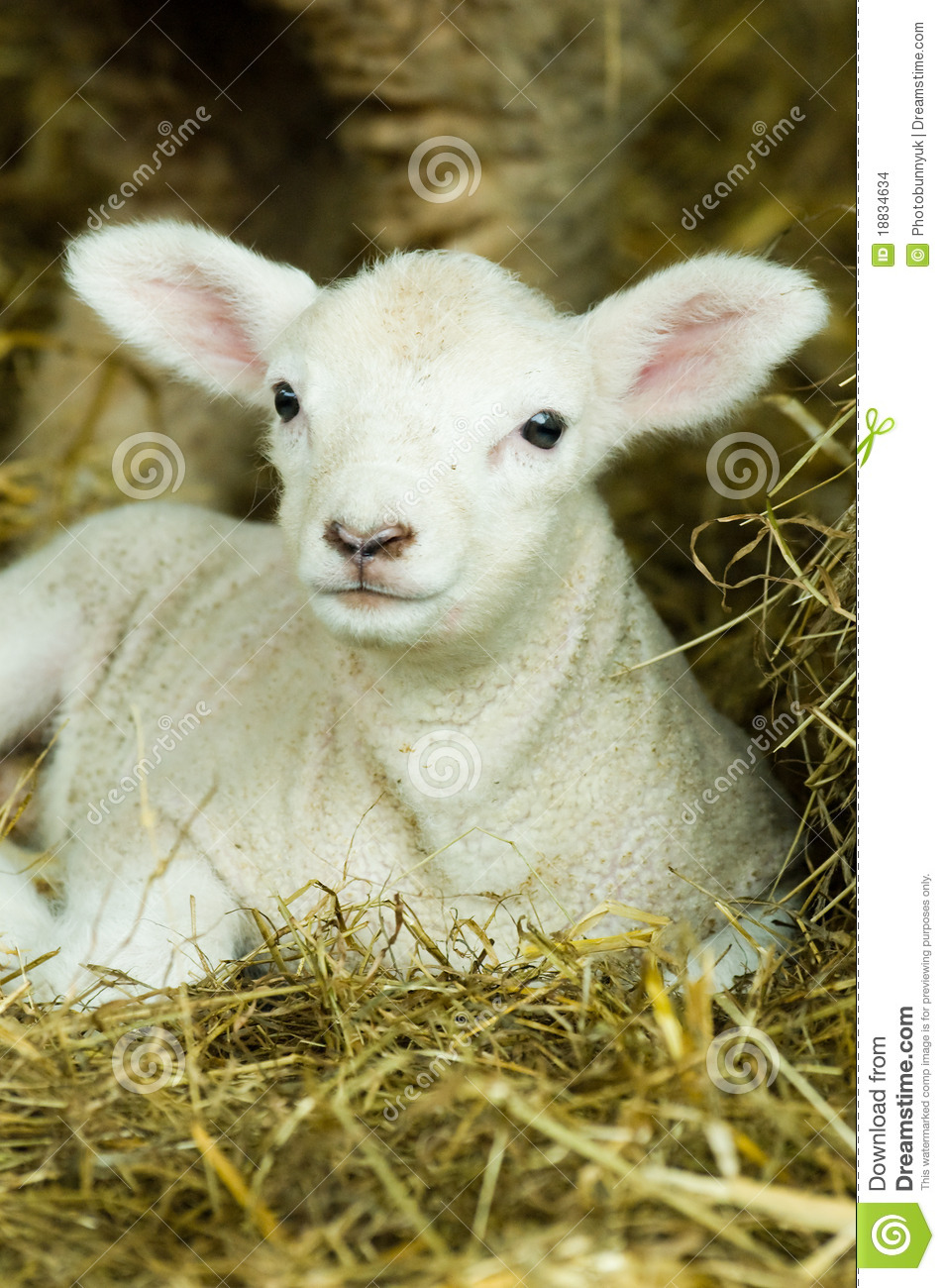 Baby Lamb Stock Images Image 18834634