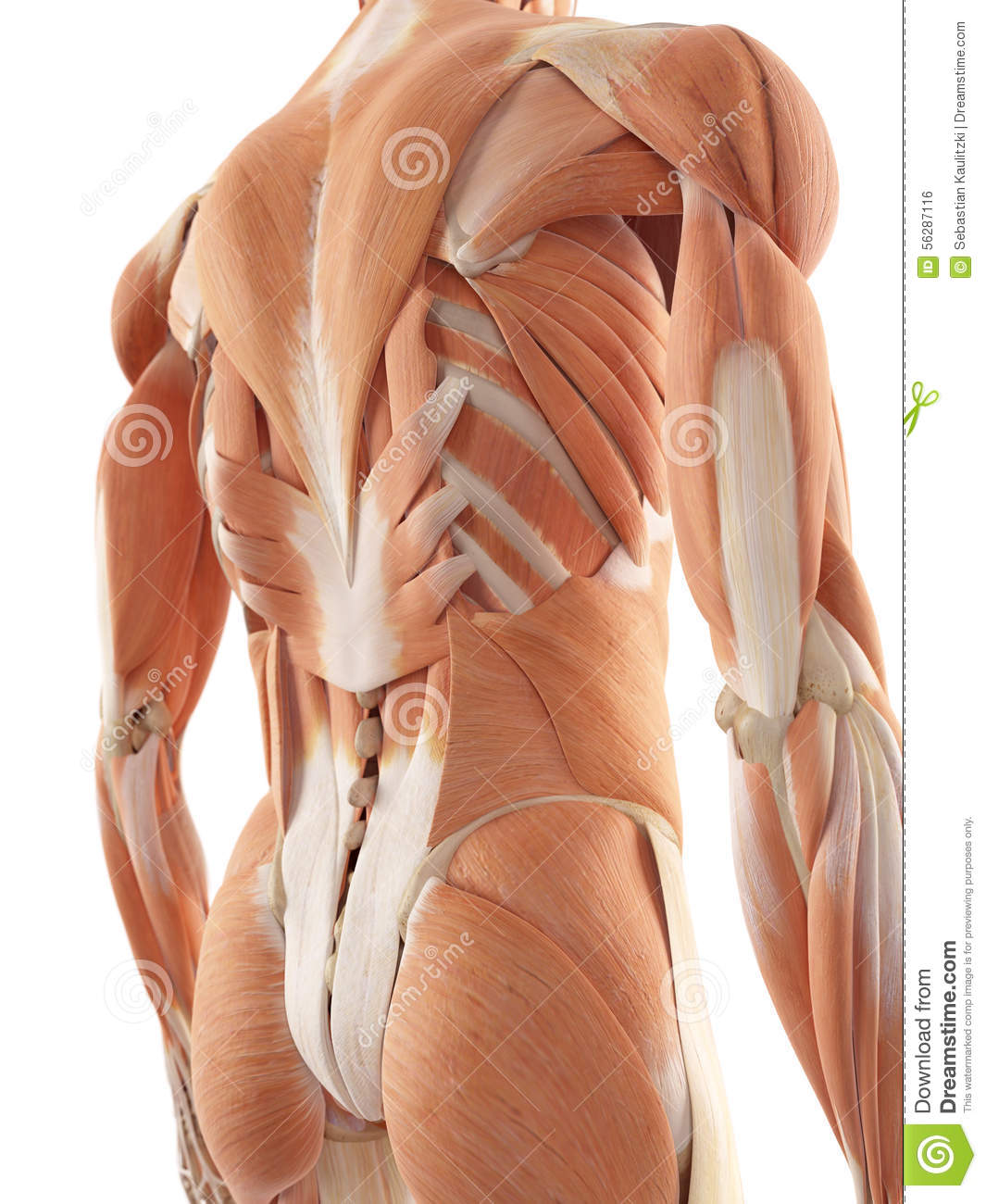 The Back Muscles Stock Illustration Illustration Of