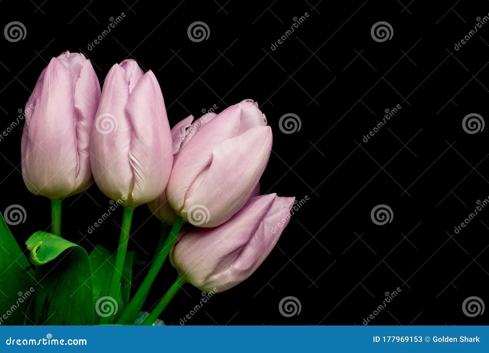 Tulips Flowers On Black Background Stock Image
