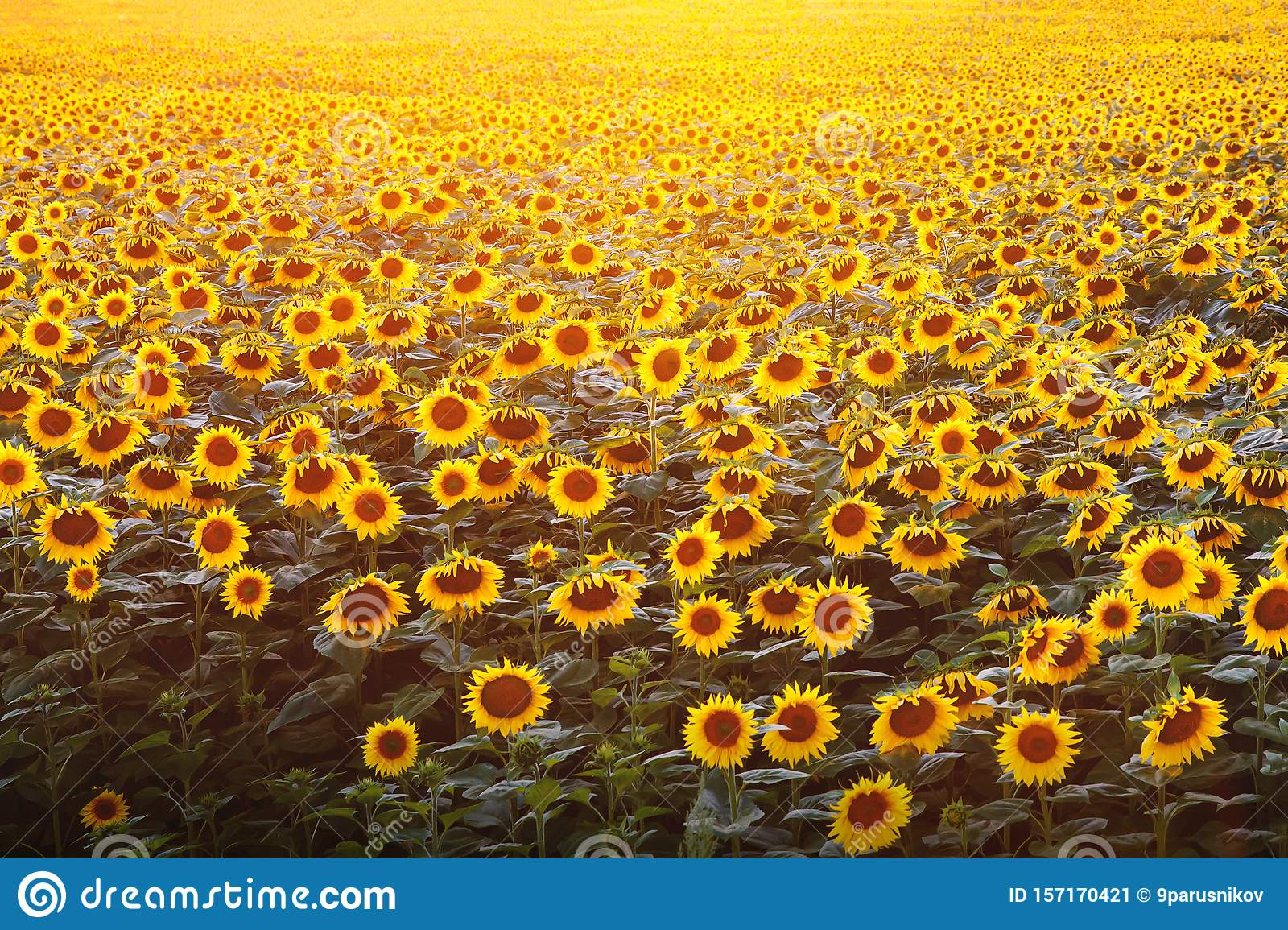 Background With A Lot Of Flowers Sunflower Wallpaper Stock Image Image Of Plant Nature 157170421