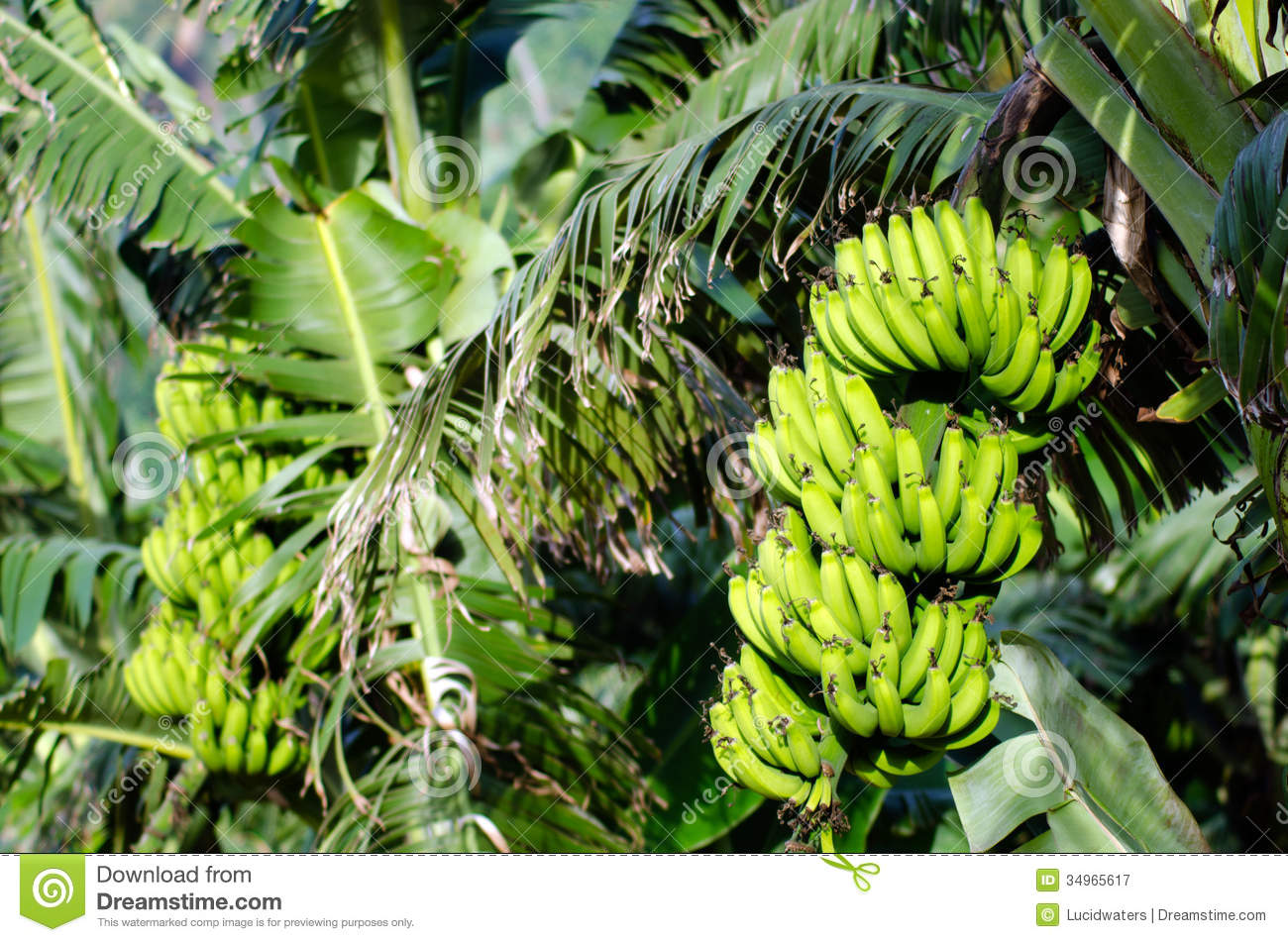 Bananas Orchard Stock Image Image Of Export Green Bunch