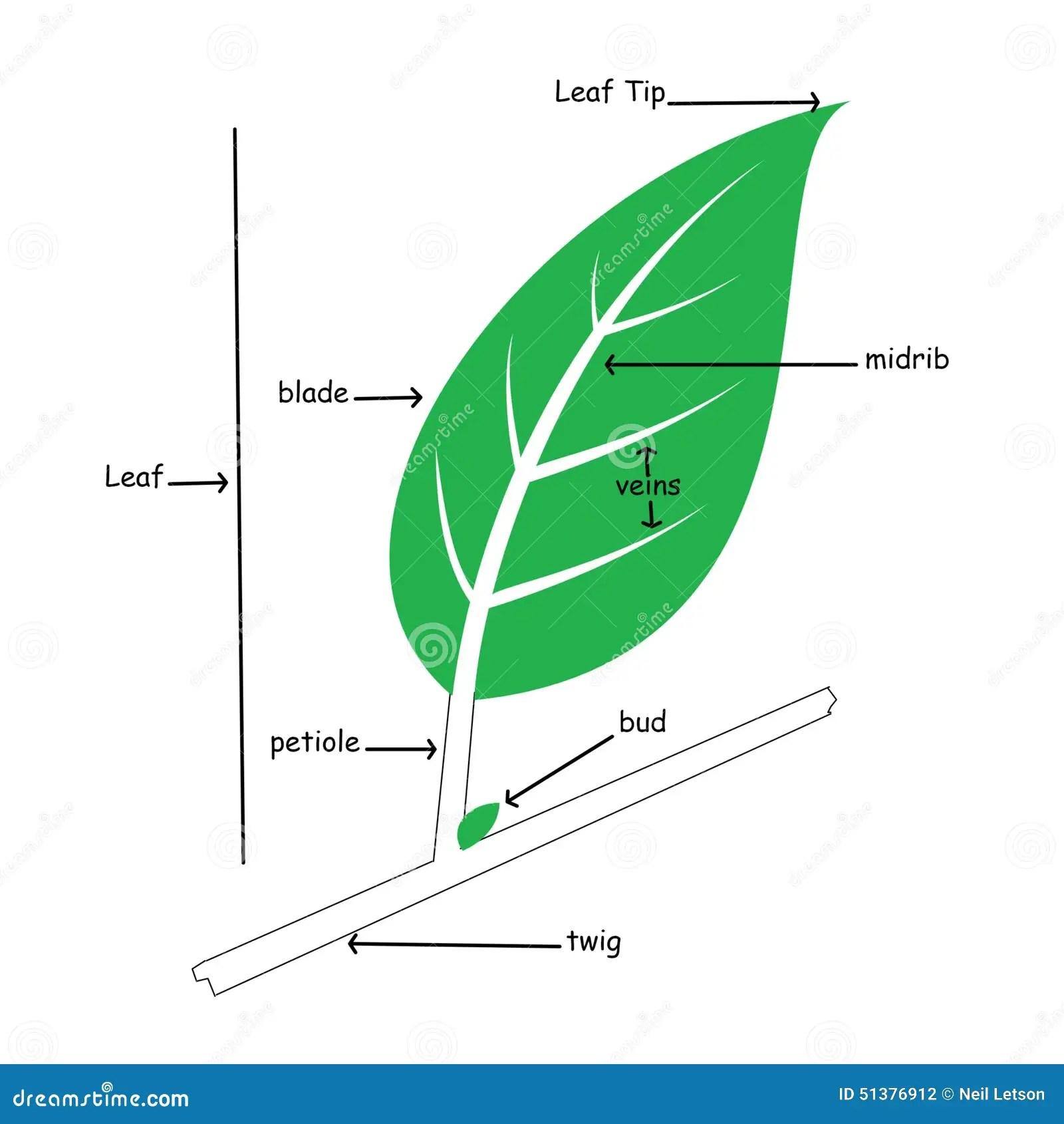 Basic Illustration Of Simple Leaf Anatomy Stock