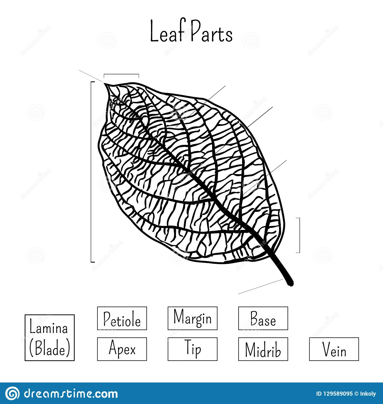 Basic Leaf Parts Worksheet Isolated On White Background