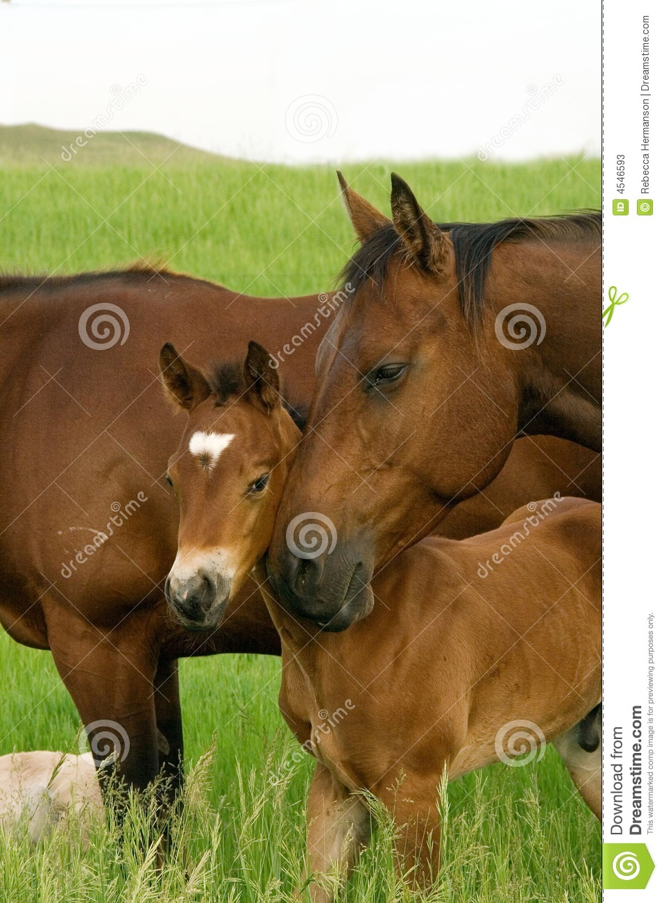 Bay Mare And Foal Stock Photos Image 4546593