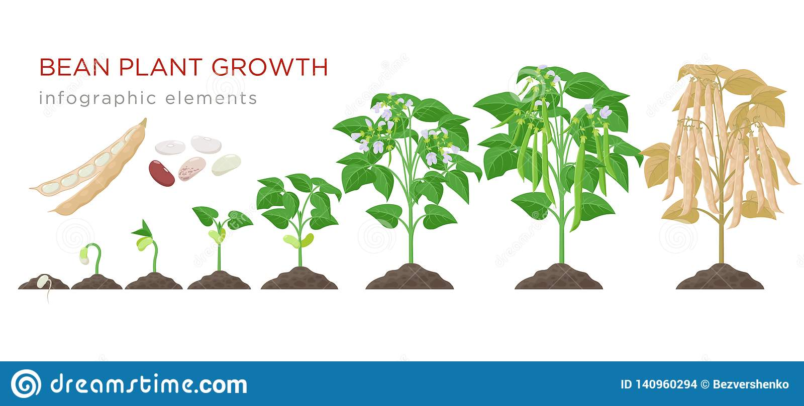 Bean Plant Growth Stages Infographic Elements In Flat