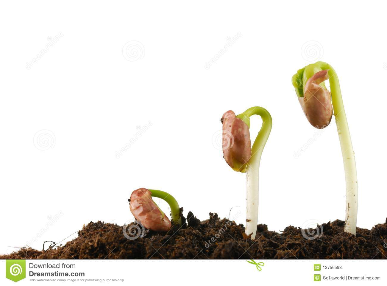 Bean Seed Germination Stock Photo Image Of Nature Close