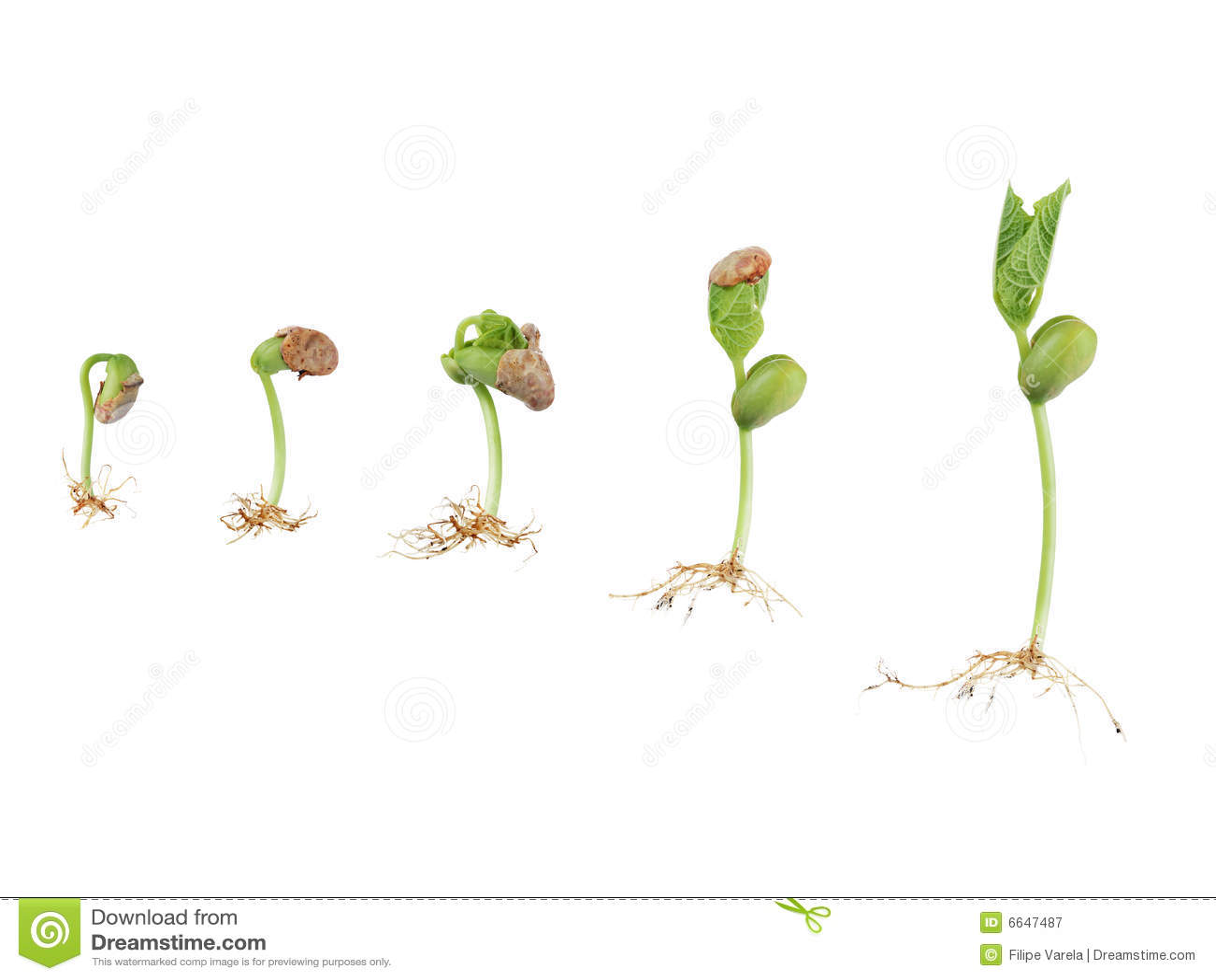 Bean Seed Germination Stock Image Image Of Germinate