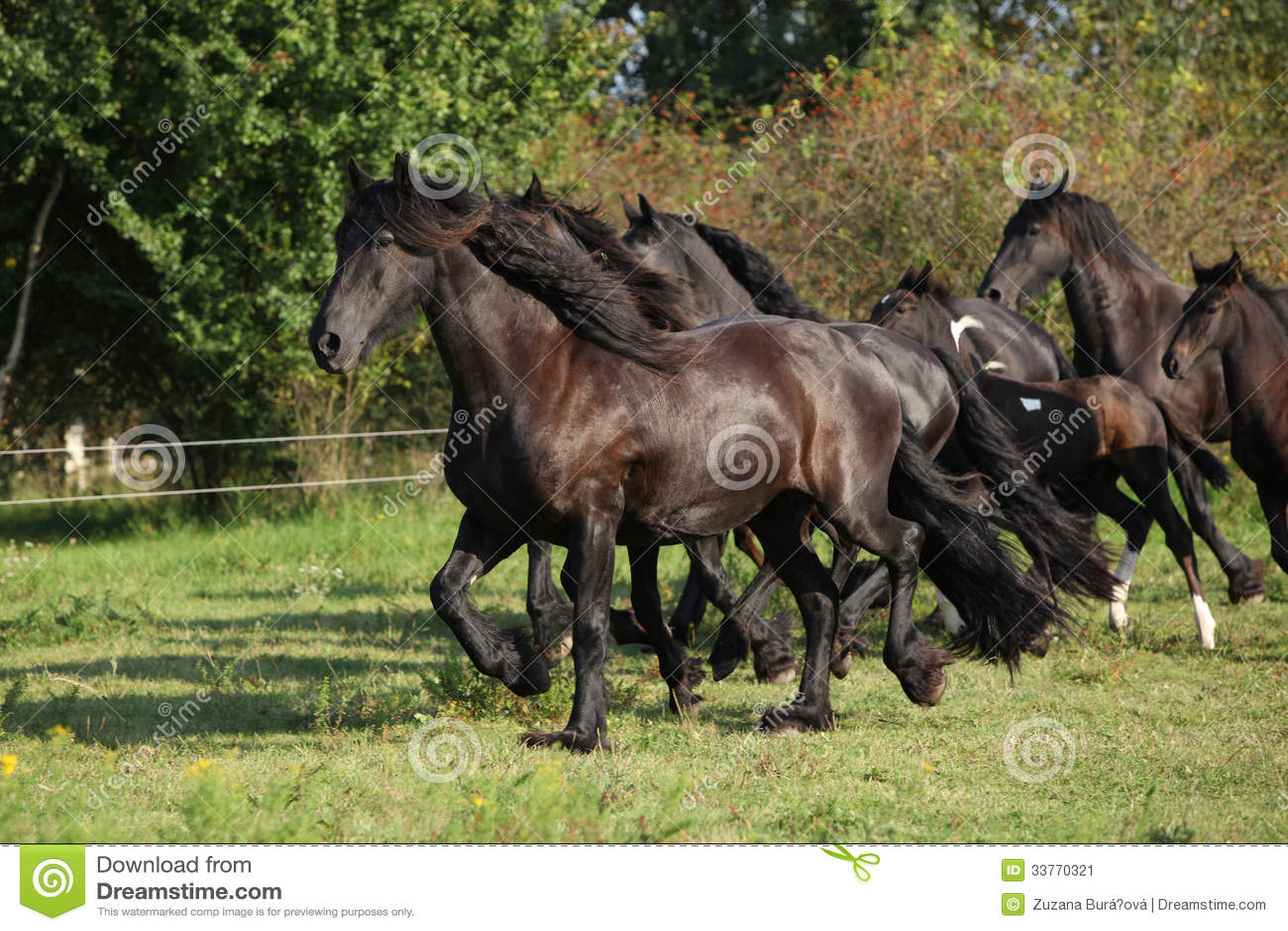 Black Horses And Friesian White