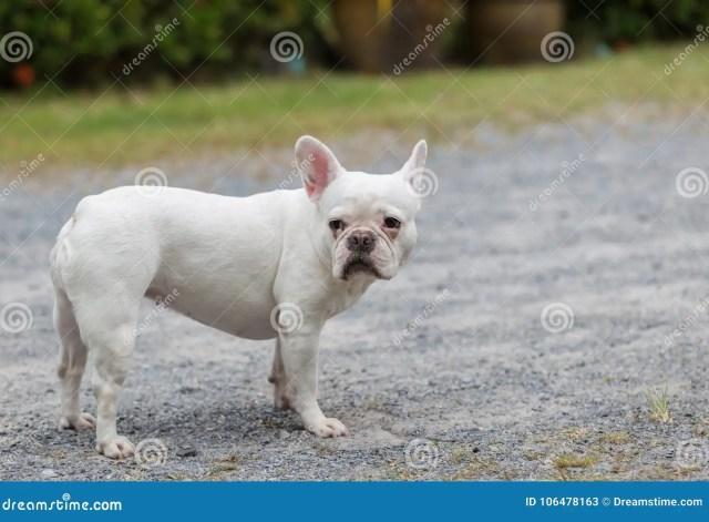 beautiful dog french bulldog white. stock image - image of