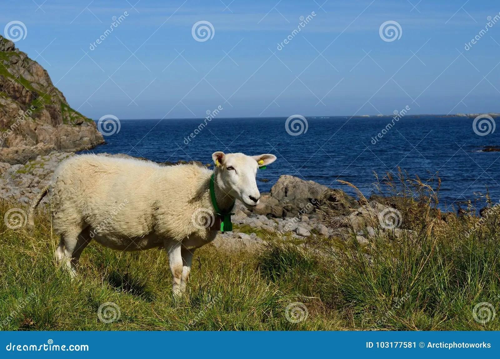 Beautiful Sheep Posing In Front Of Majestic Ocean View