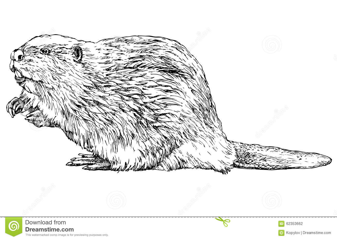 Beaver On White Stock Vector