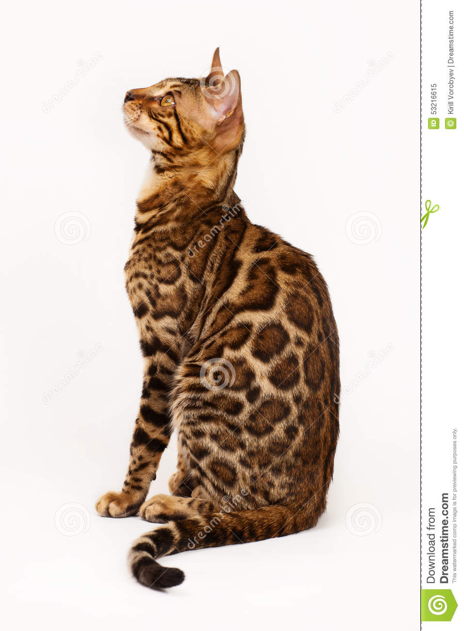 Bengal Cat Profile Shot Stock Photo Image 53216615