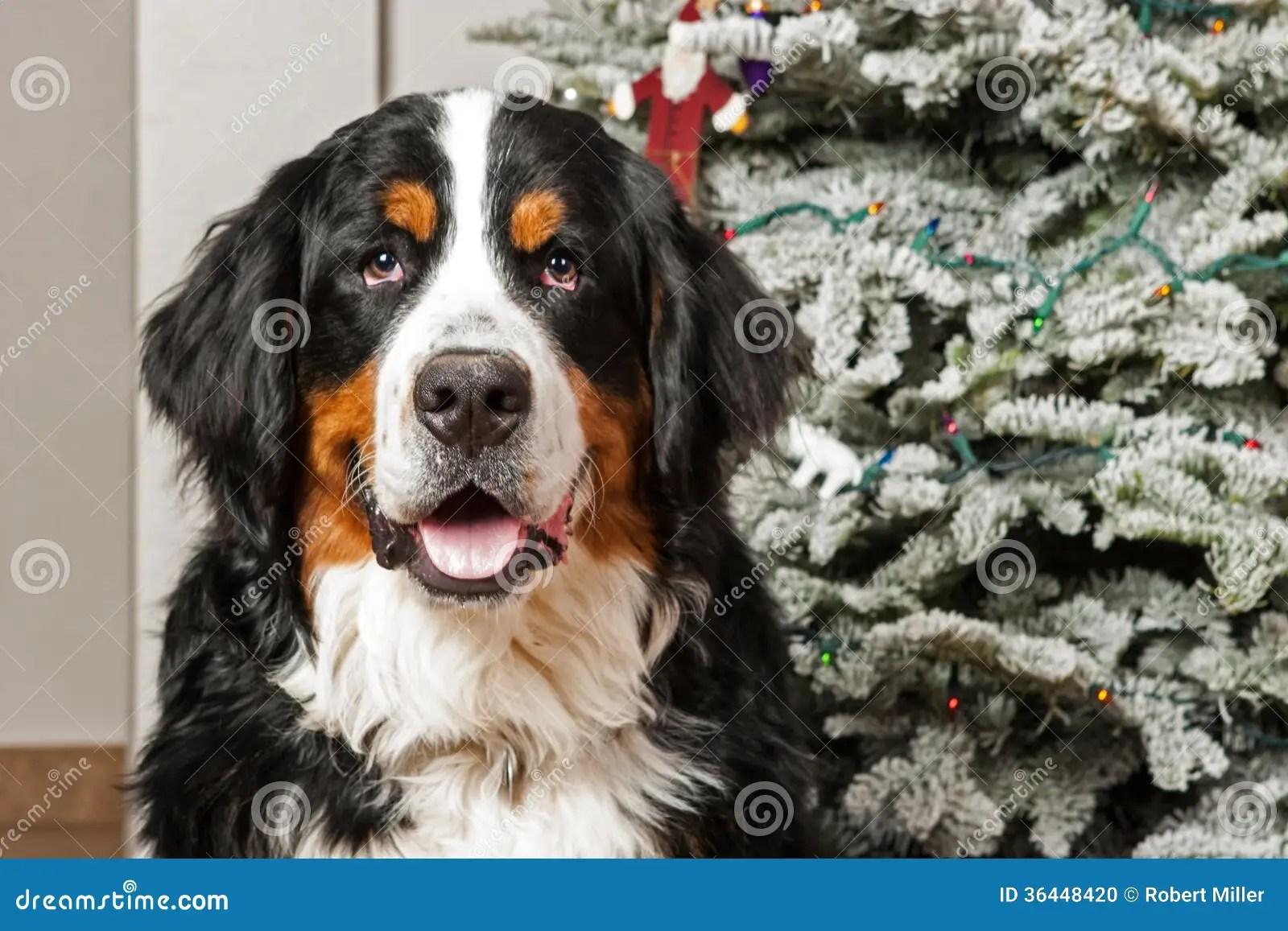 Berner Sennenhund Am Weihnachten Stockfoto Bild 36448420