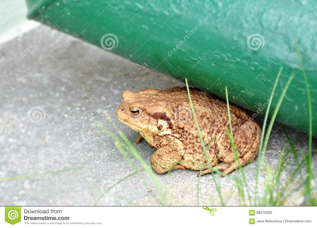 Big Brown Toad Frog In The Garden Stock Image