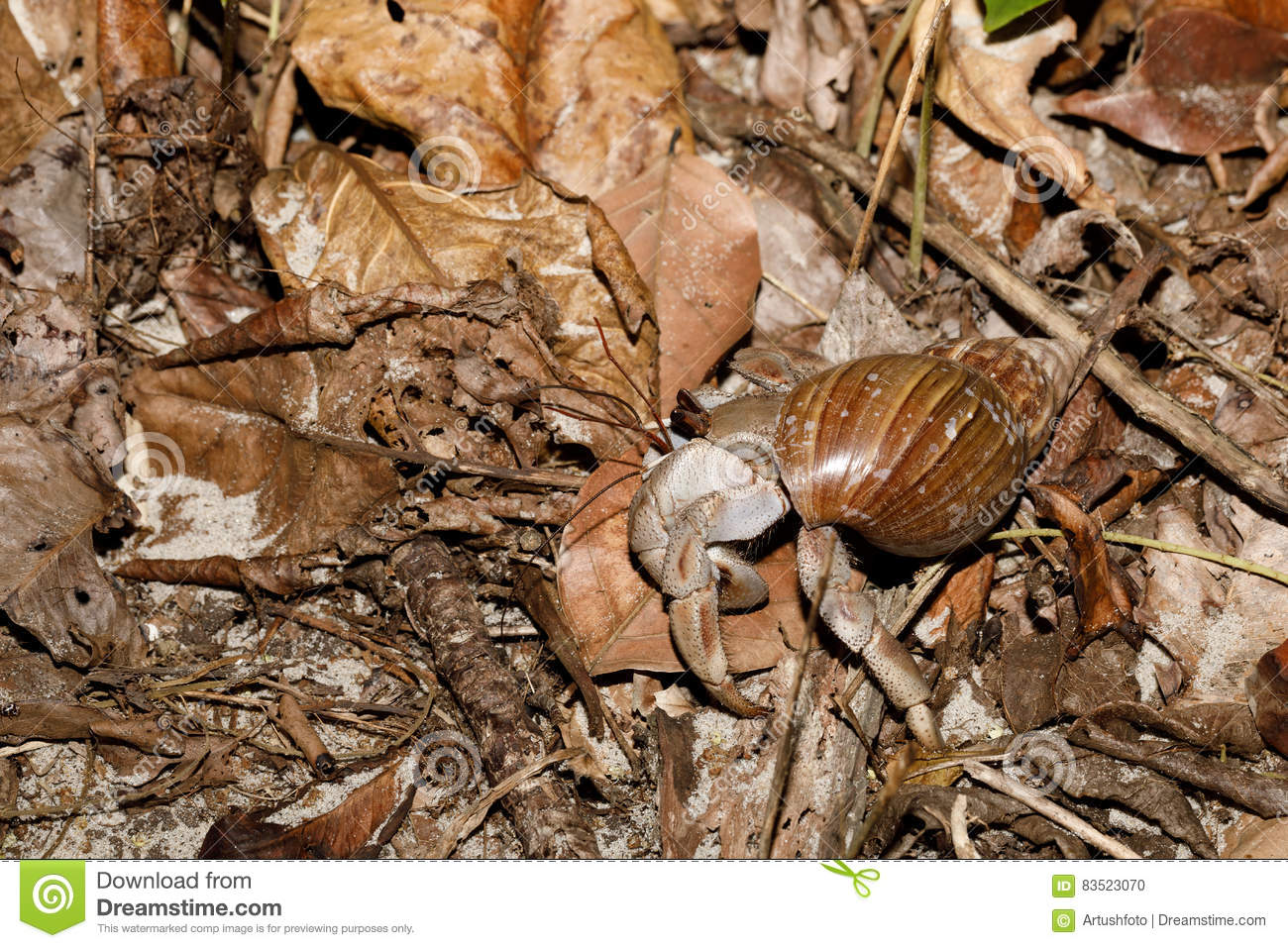 Big Hermit Crab With Snail Shell Madagascar Stock Photo