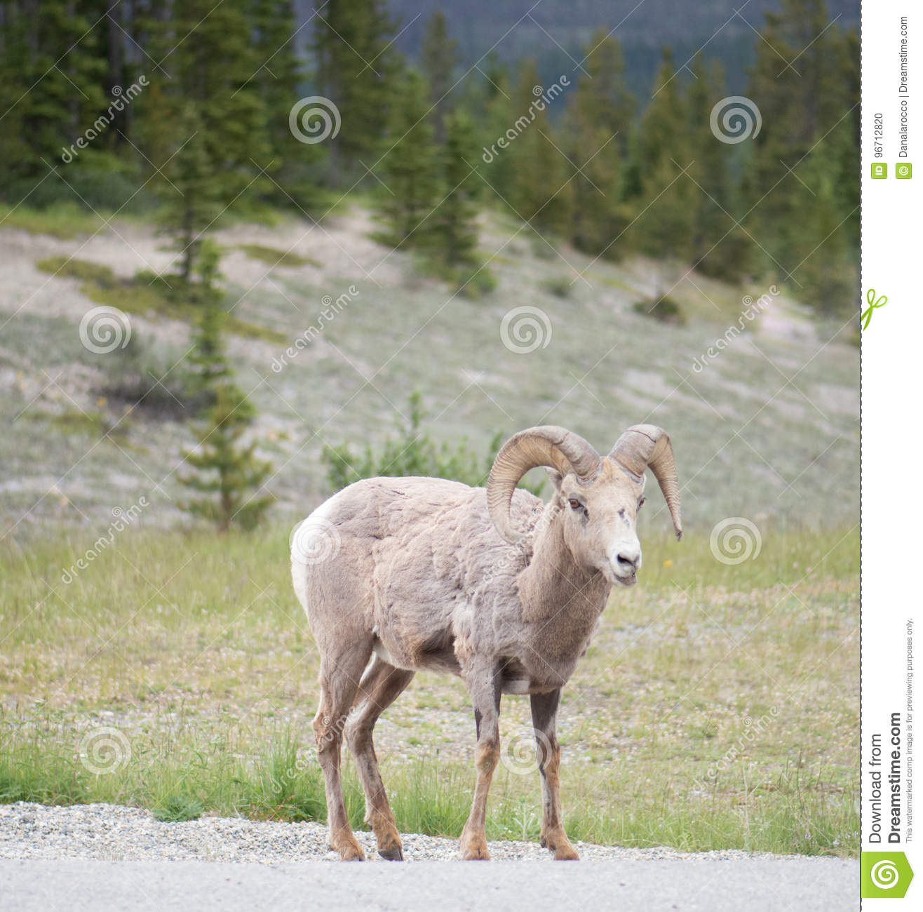 Big Horn Sheep Portrait Front View In Banff Stock Photo