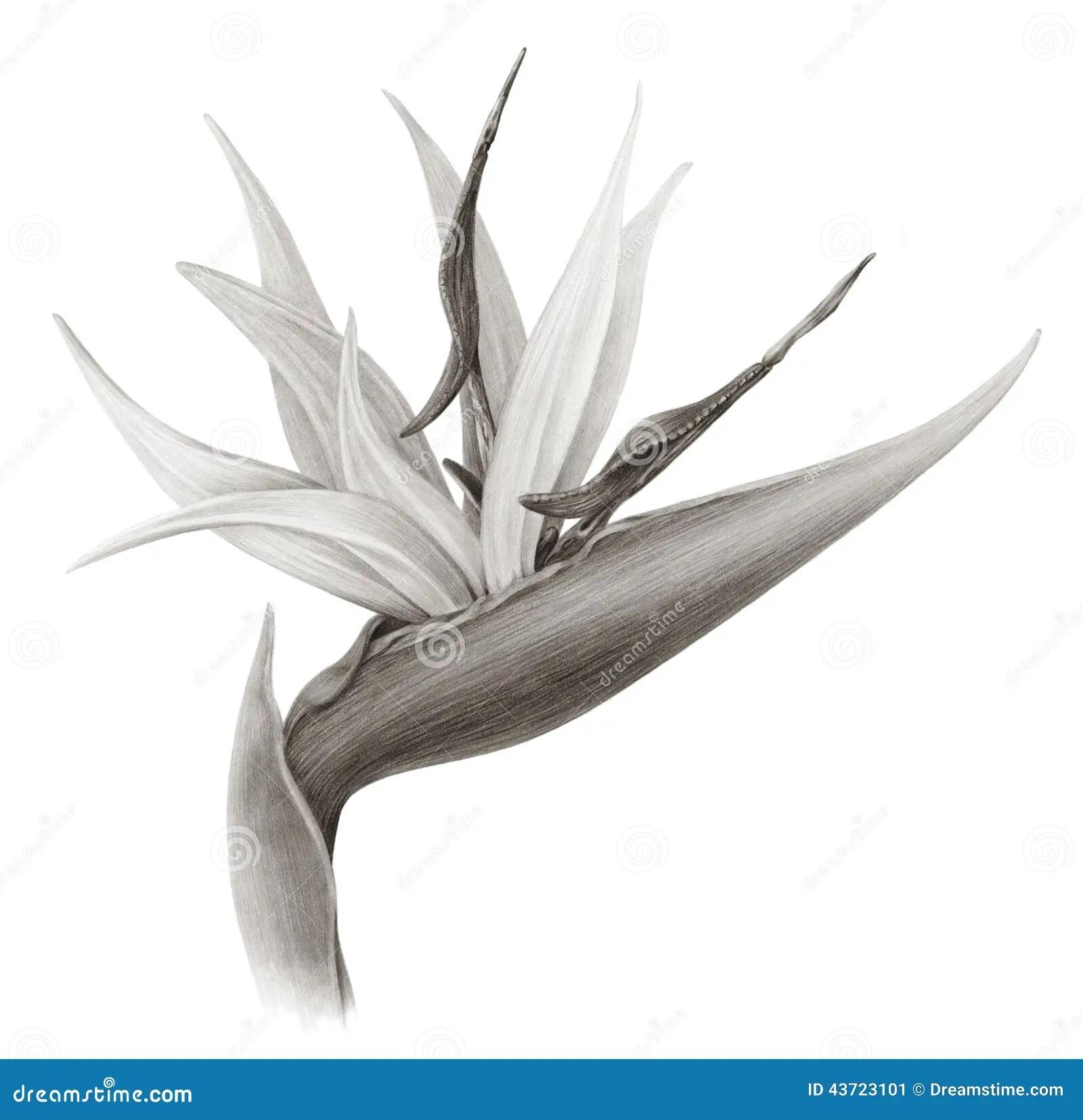 Drawing Bird Paradise Tropical Flower