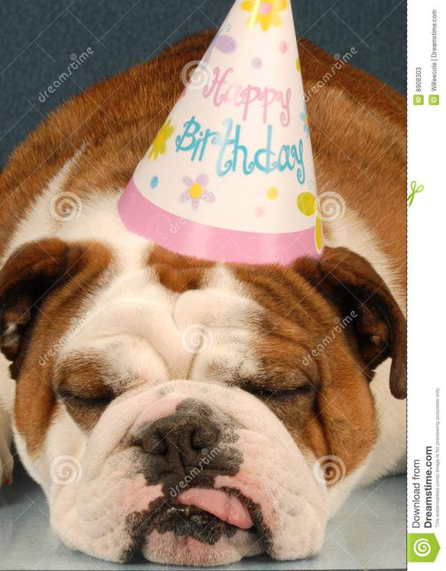 birthday bulldog stock image. image of humor, face, puppy - 8908303