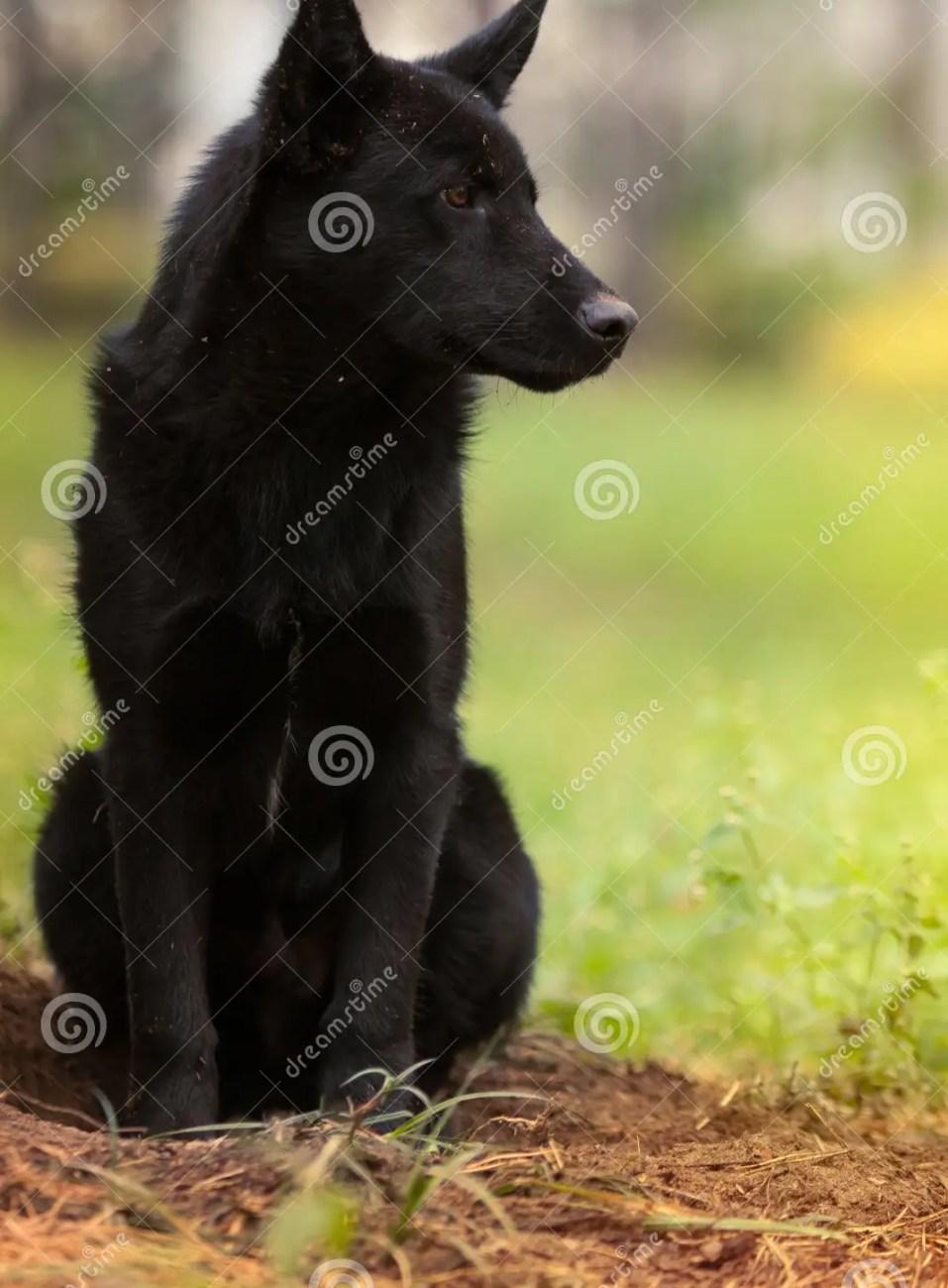 black sad dog. stock photo - image: 61672250
