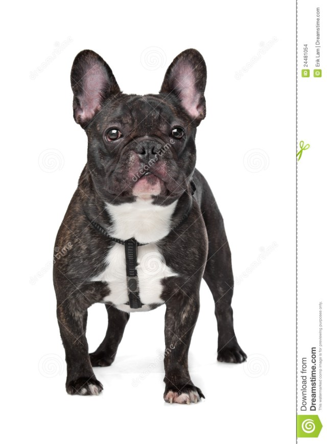 black and white french bulldog stock photo - image of view