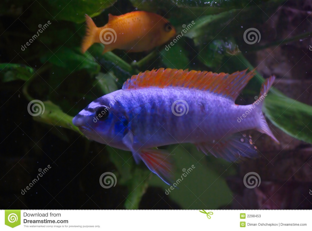 Blue Fish Red Fins Stock Image Image Of Eyes Bright