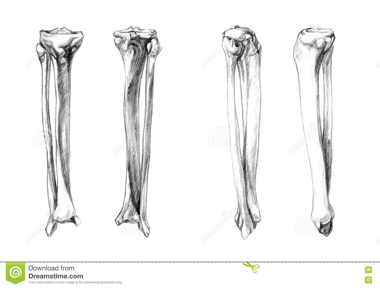 Tibia And Fibula Leg Bones Cartoon Vector