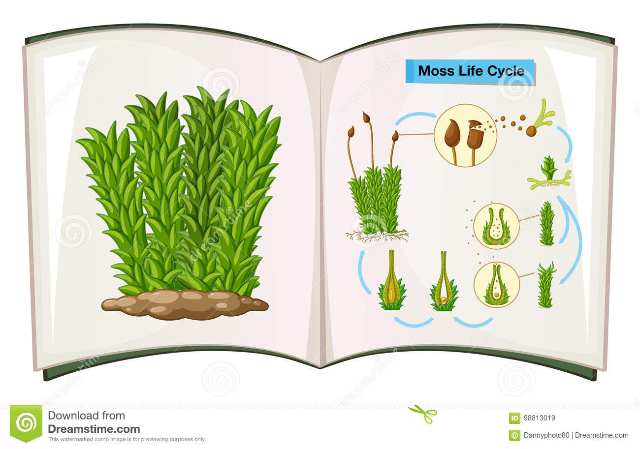 Book Showing Life Cycle Of Moss Stock Vector