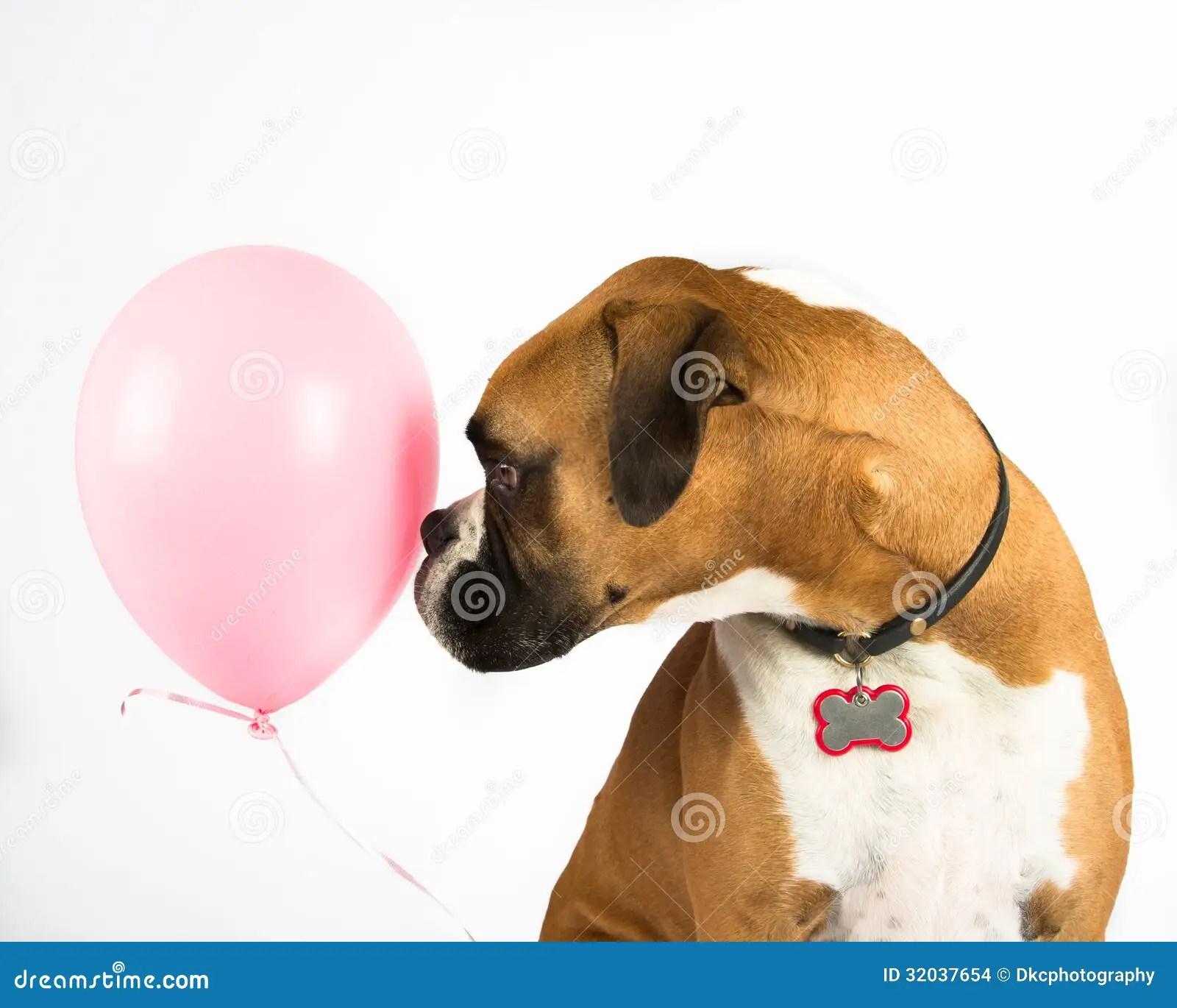 167 Boxer Dog Balloon Photos Free Royalty Free Stock Photos From Dreamstime
