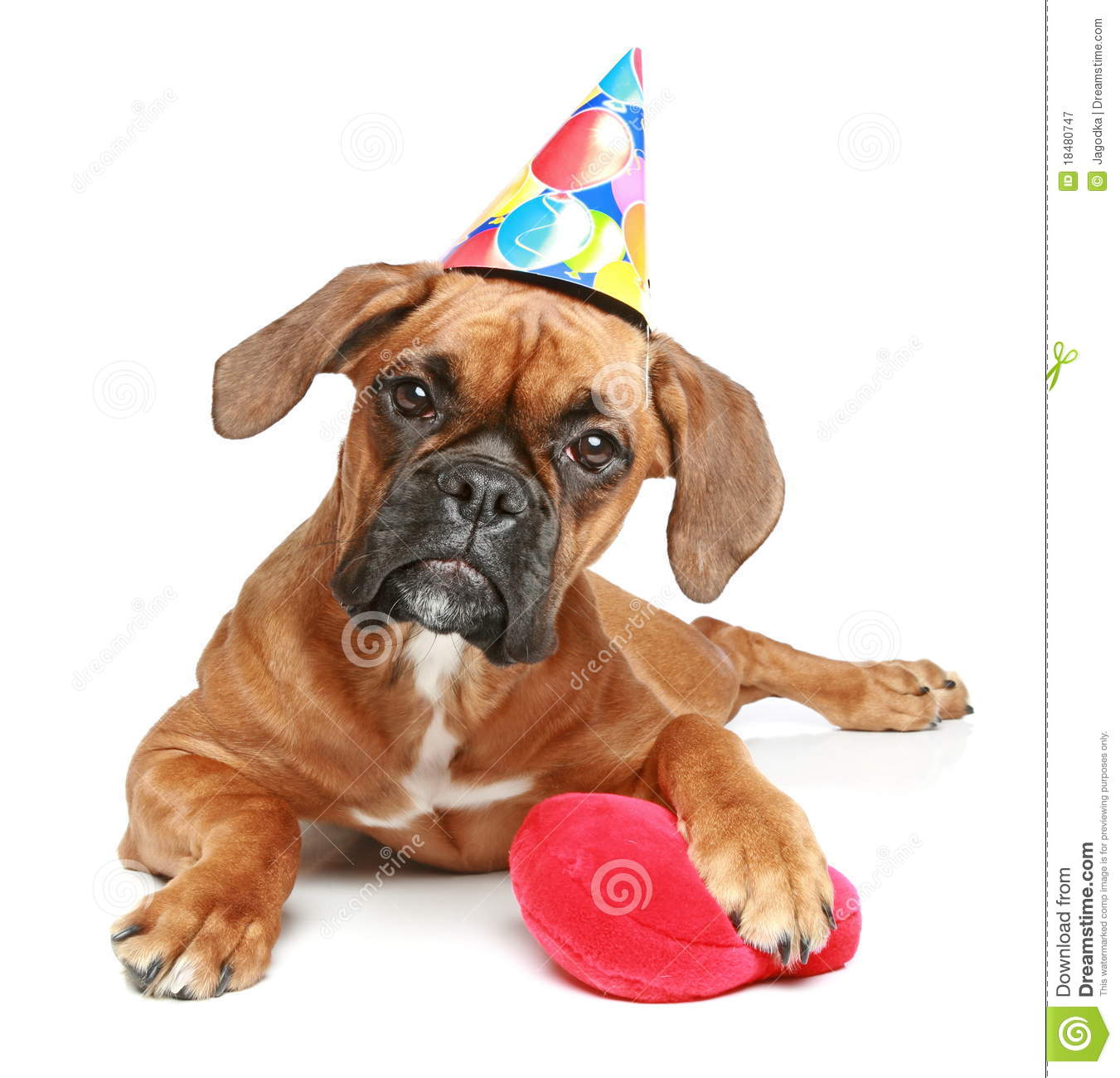 Boxer Puppy In Party Cap With Red Heart Royalty Free Stock