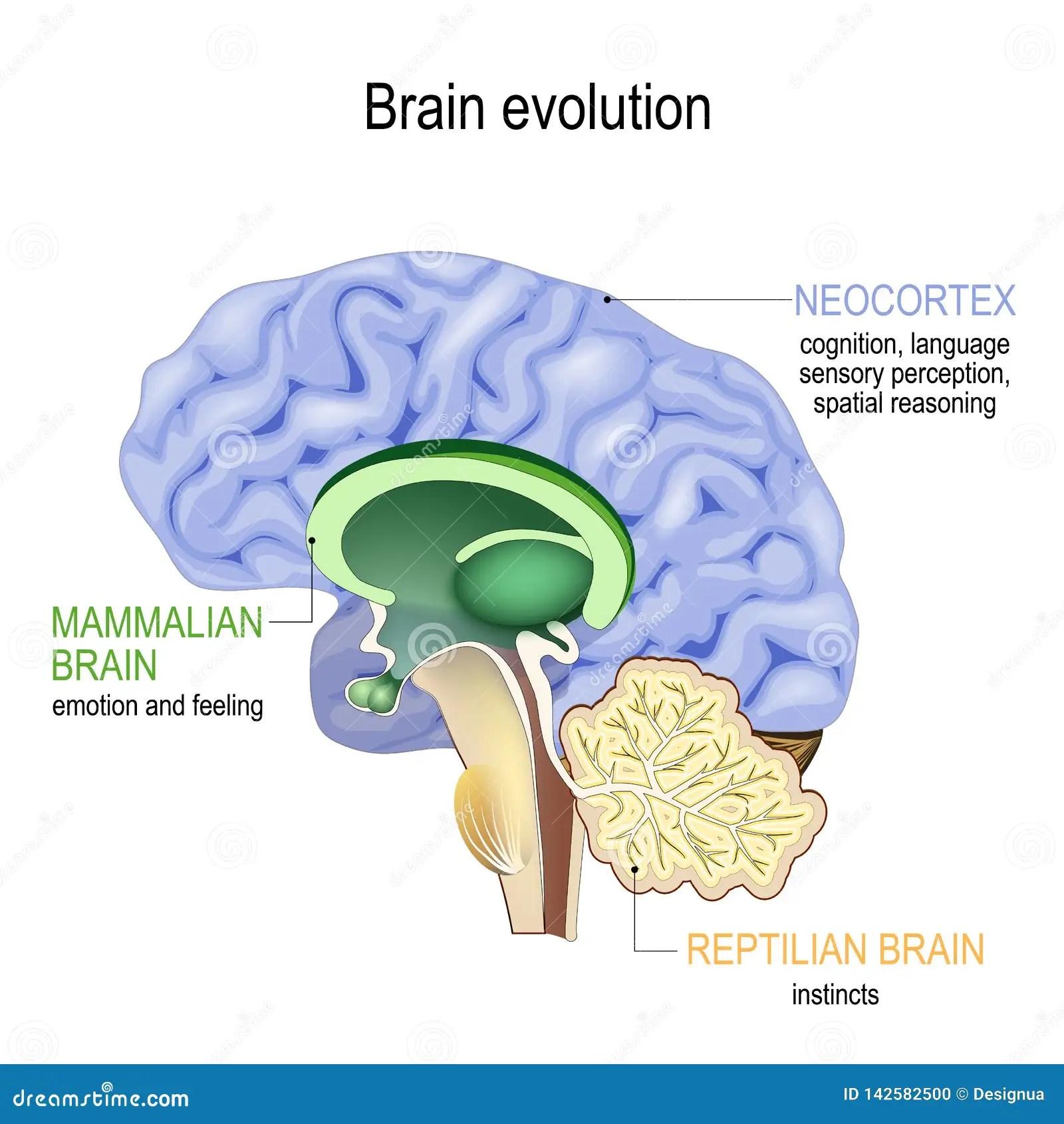 Neocortex Stock Illustrations 21 Neocortex Stock