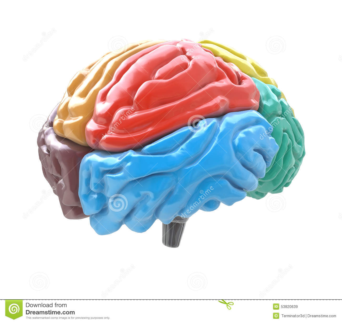 Brain Lobes In Different Colors On White Background Stock