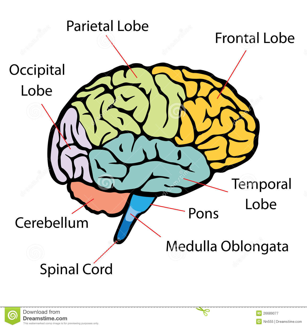 Brain Sections Stock Vector Illustration Of Educational