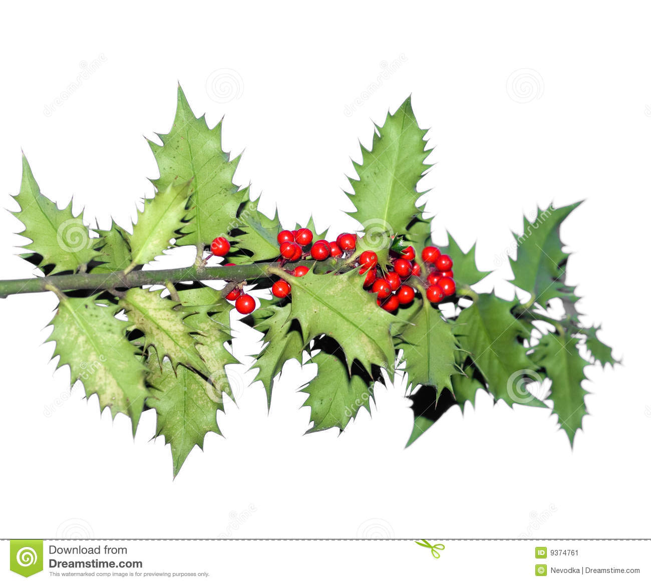 Branch Of Holly Tree Stock Image Image 9374761