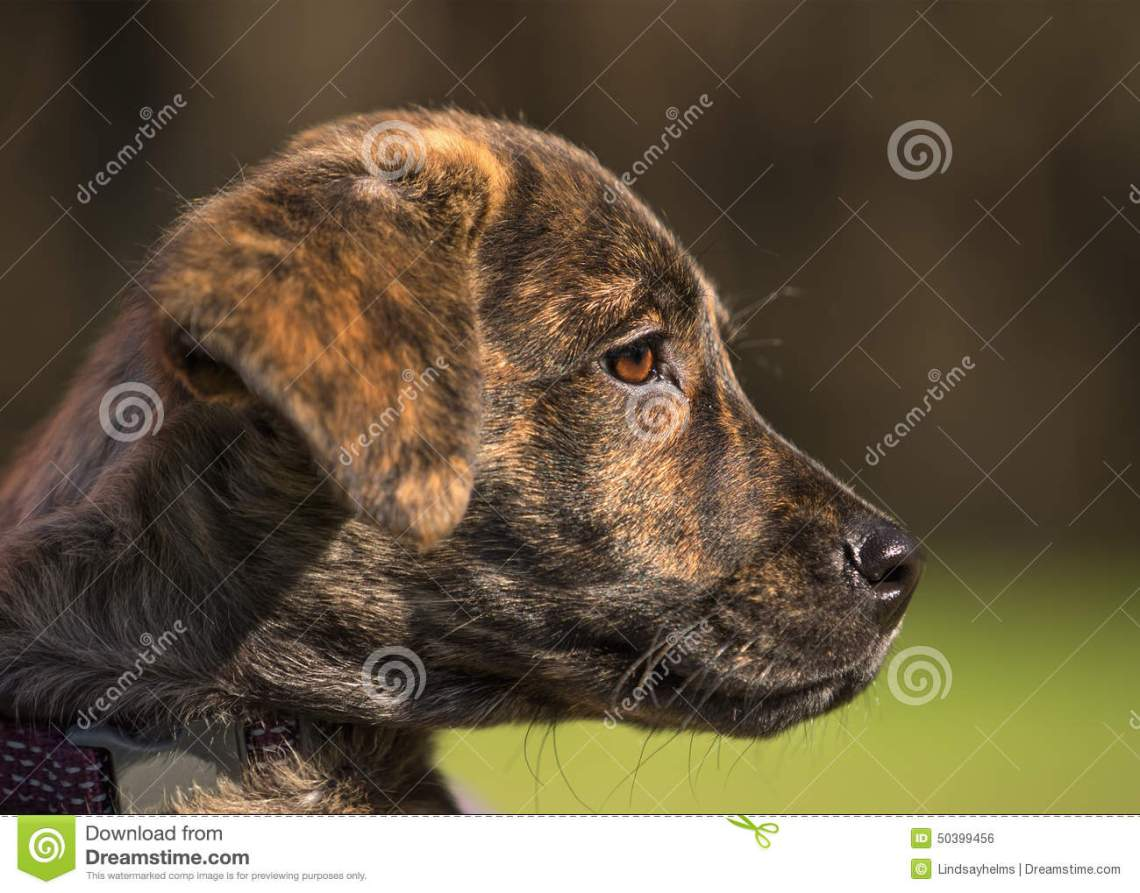 brindle puppy small young labrador plott hound mix breed dog bright brown eye looking watching observing outside 50399456 Small Pitbull Looking Dog