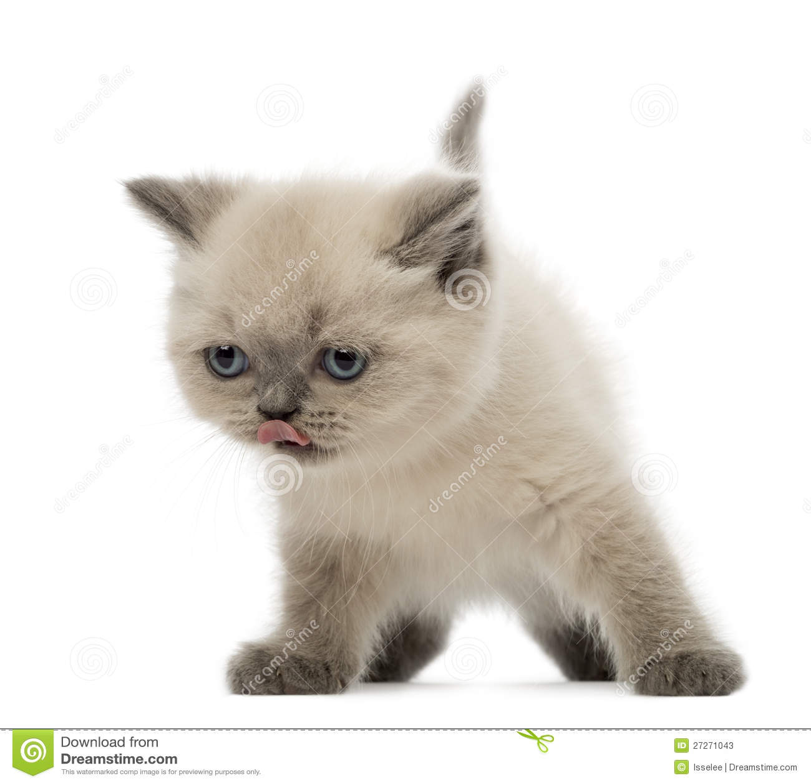 British Shorthair Kitten Licking Its Nose Stock Photos